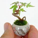 指尖上盆景,超级可爱的微型植物