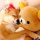 3岁呆萌柴犬甜睡照